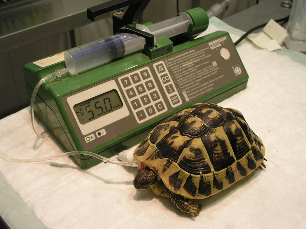 Fluidoteràpia en una tortuga / Fluidoterapia en una tortuga