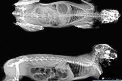 01- Radiografia conill (Orictolagus cuniculus), estasis gastrointestinal