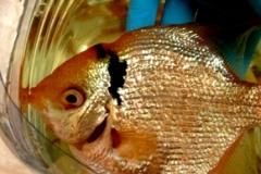 06- Visita d'un peix escalar (Pterophyllum scalare)