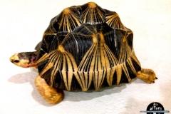 Tortuga estrellada de Madagascar (Astrochelys radiata)